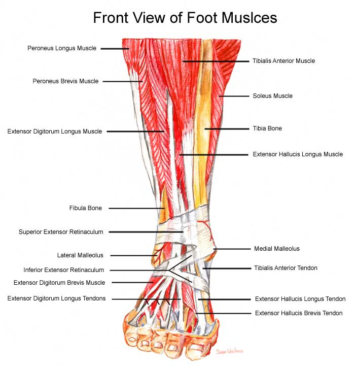 Mechanics Of Ankle Movement Question Alsmnd Support Group Forums