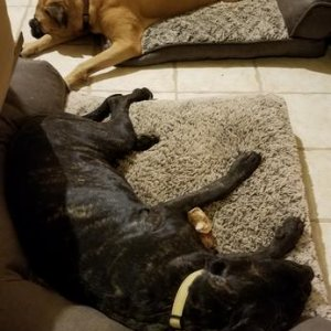 Dogs: Bullmastiff Uther and Neapolitan Mastiff Jade